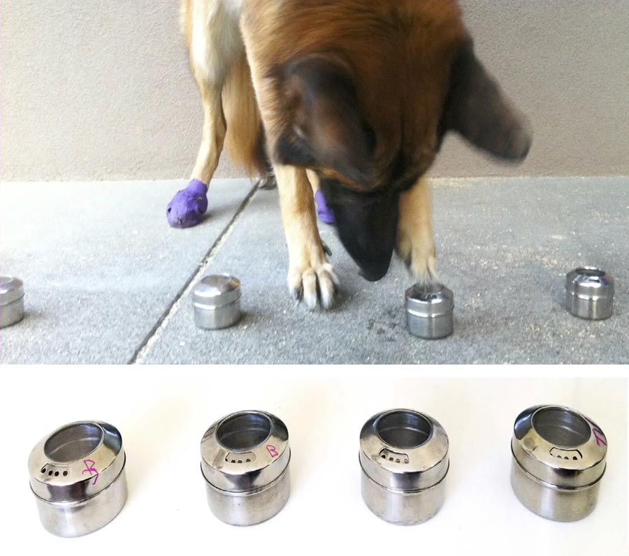 A dog is shown with a line of four metal containers. The dog is touching one of the containers with its paw, indicating that it detected the scent it was trained to find.